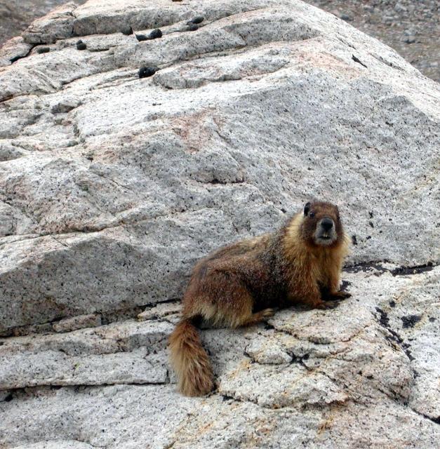 marmot-fat
